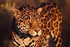 jaguar information for jaguar facts national geographic