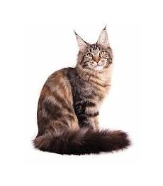 gatti persiani costo the cuddlywumps cat chronicles legends of the maine coon