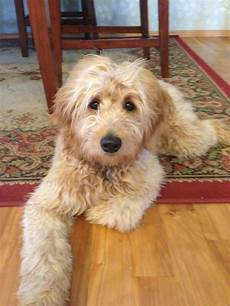 images puppy cut for a goldendoodle 35 best images about goldendoodle haircuts on pinterest goldendoodle haircuts labradoodles