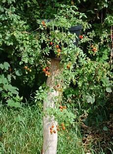 tomaten ausgeizen 171 wir sind im garten