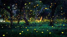 fireflies how and why they light up the dodo