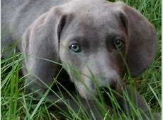 Weimaraner   Dog Breed Facts, Highlights & Advice   Pets4Homes