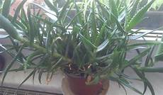 aloe vera pflanze absenker umpflanzen pflanzen pflege