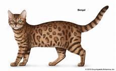cat breed shorthair cat breeds britannica
