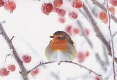 charity christmas cards 3 in robin branch rspb cardspark