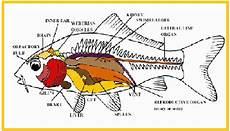 Anatomi Comparativa Ikan Berita Biologi