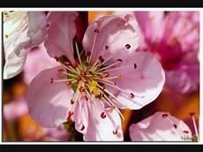 fiori di rosa fiori di pesco fiori rosa fiori di pesco