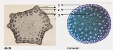 Batang Anatomi Struktur Dan Fungsinya Bagi Tumbuhan