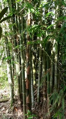 Warisan Petani Pokok Buluh 1 Buluh Betung