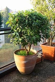 Plante Feuillage Persistant En Pot Fleur De