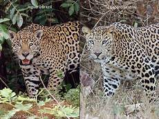 panther jaguar leopard jaguar vs leopard wilderhood recitals