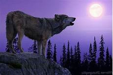 Real Wolf Howling Wallpaper