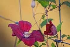 clematis als bodendecker 187 geeignete sorten pflanztipps