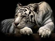 White Tiger Image wallpapers white tiger wallpapers