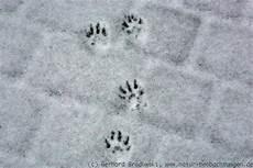 marderspuren im schnee news 2013 v 246 gel tiere insekten pflanzen natur