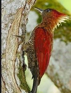 Gambar Jenis Jenis Burung Pelatuk Serta Namanya