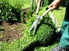 buchsbaum schneiden wann am besten buchsbaum heckenschnitt teil 4 boxwood hedge cutting part