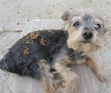 L Atopie Chez Le Chien Ou Dermatite Atopique Canine Chien