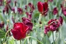 tulpen pflege nach der blüte verbl 252 hte tulpen 187 welche pflege folgt nach der bl 252 te