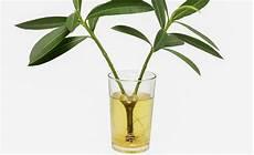 Oleander Erfolgreich Vermehren Gr 252 Nschnitt Pflanzen