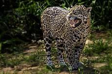 jaguar facts panthera onca