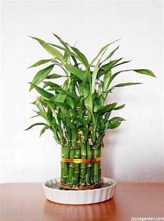 lucky bamboo care tips a houseplant that grows in water