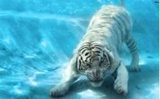 Gambar Harimau Putih Education