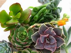 Dickfleischige Pflanze Sukkulente - succulent tips and care build sow grow