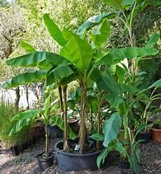 Musa Basjoo Pflege - bananen pflanzen im garten mediterranen pflanzen im