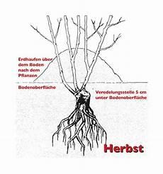 pflanzen veredelungsstelle pflanzung pflegetipps tantau