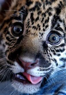 what is a jaguar called photos baby animals from around the world