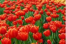 tulpen pflege nach der blüte tipps f 252 r den tulpenfr 252 hling seite 2 zuhausewohnen