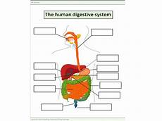 the human digestive system worksheet teaching resources