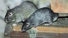 ratten fangen tipps ratten vertreiben und bek 228 mpfen tipps gegen ratten im haus