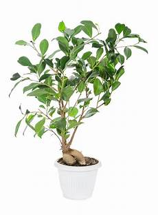 What Is A Ficus Ginseng Tree Learn About Growing A Ficus