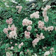 rosiers grimpants anciens le rosier grimpant new jardin rosier rosiers