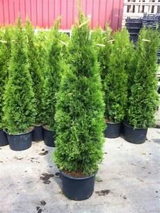 schnell wachsender sichtschutz schnell wachsender sichtschutz immergr 252 n awesome sichtschutz holz sichtschutz bambus