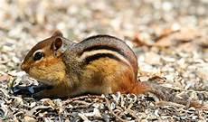 gabbia per scoiattolo giapponese scoiattolo giapponese 4ze club