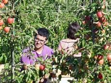 wann sind äpfel reif wann sind 196 pfel reif die richtige ernte tipps