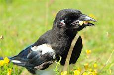 elster vogel diebisch diebische elster foto bild tiere wildlife