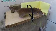 mouse in cable tie trap