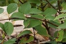 hortensien blätter werden braun braune und welke bl 228 tter an hortensien so reagieren sie