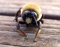 bienen niedrigere klassifizierungen the best facts about carpenter bees