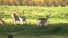 how deer lose their antlers youtube
