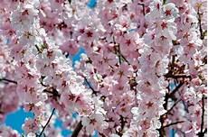 Cerisiers Japonais Fleurs 183 Photo Gratuite Sur Pixabay