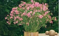 Oleander Draussen überwintern - oleander 252 berwintern selbst de