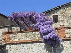 piante fiorite da terrazzo la pianta ricante ricanti la pianta ricante