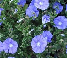 Blaue Mauritius Dehner Garten Center