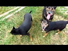 spa de thionville chiens de la spa thionville