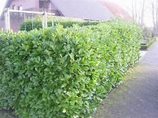 Gro 223 Bl 228 Ttriger Kirschlorbeer Rotundifolia